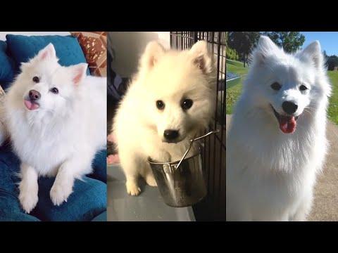 Порода собак Американский Эскимосский Шпиц (Эски), белый красавец