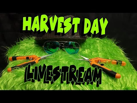 Gorilla Grow Harvest Day - FULL PROSESS - LIVESTREAM With LIVE CHAT ROOM