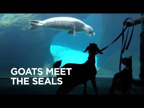 Tiny Goat Visits Seals