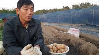 감자 심는 방법 3가지, 재배방법 및 병해충 방제