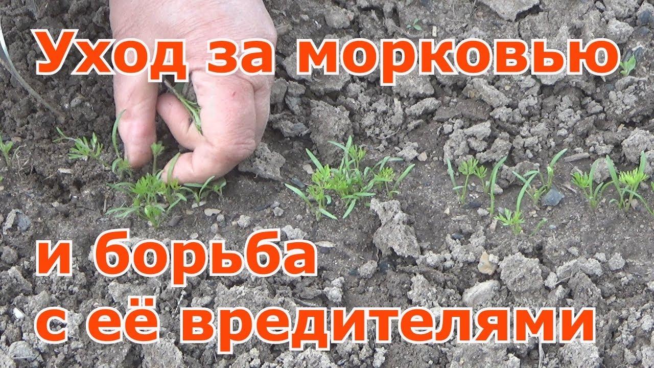 Выращивание моркови. Прореживание. Мульчирование. Профилактика против вредителей.