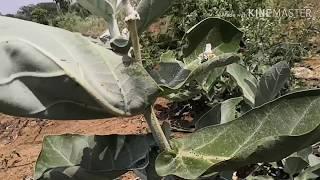 Ncof waste decomposer Dashaparni Kashayam result#telugu#100% organic