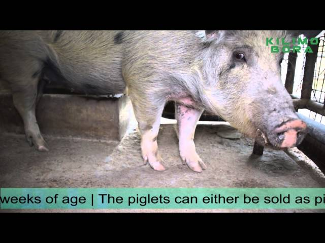 Pig Farming with Chuku emeka