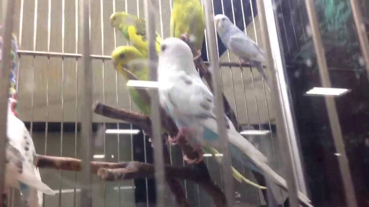 Pictures Of Petsmart Parakeets Rock Cafe