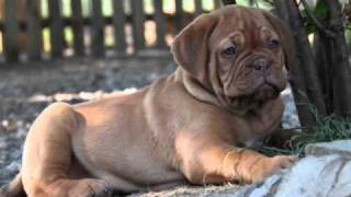 Dogue De Bordeaux Cuccioli Kennel '' Dei Dogue Della Valle''