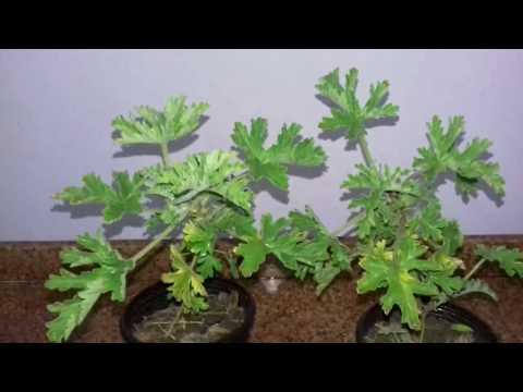 5c9fd2da3 زراعة وتكاثر ونقل نبات العطر pelargonium graveolens - YouTube
