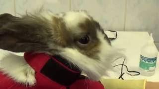 Подрезание зубов у кролика/Undercutting of the teeth of the rabbit