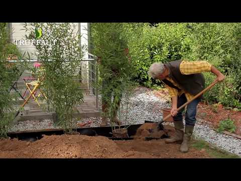 Comment Planter Une Haie De Bambous Jardinerie Truffaut Tv Youtube