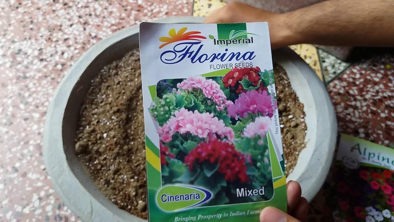 How To Grow Cineraria And Petunia Seeds