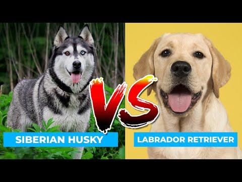 Siberian Husky Vs Labrador Retriever in Hindi | Dog VS Dog | PET INFO | Which  Best For You as Pet?