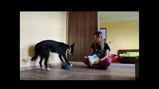 Australian Koolie Flow and Border Collie Cute  Dog Tricks