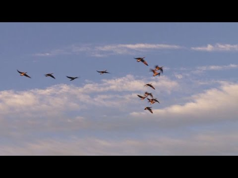 Episode 3-8: Canada Goose Migration