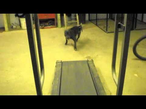 dog on treadmill FUNNY!