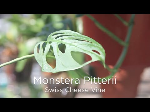 Monstera Pitterii - Swiss Cheese Vine