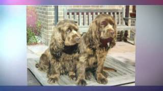 SEE MORE about the Sussex Spaniel: http://obedient-dog.net/dog-bree...