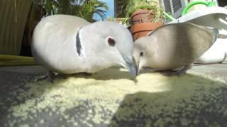 Doves vs. Pigeons