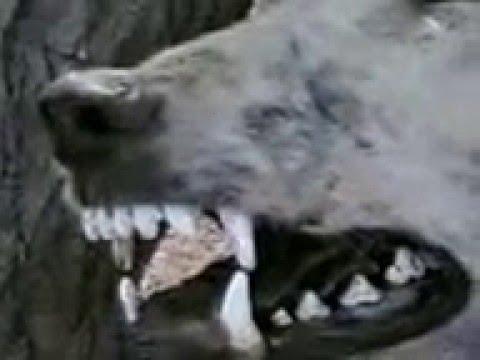 مقطع قديم لحيوان يقال انه الشيب او المسارة في حائل Strange And Rare Animal Youtube