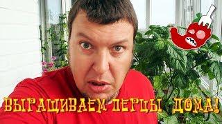 Как вырастить острый перец дома? # 21 - На перцы напала тля!