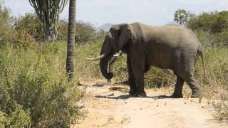 Elephant shaking palm-tree Ruaha NP Tanzania2