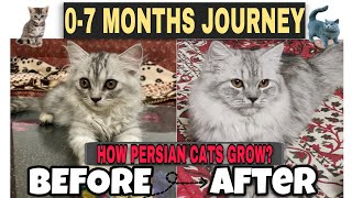 How do persian cats grow? || 07 Months journey|| Persian kitten growth to adult cat!