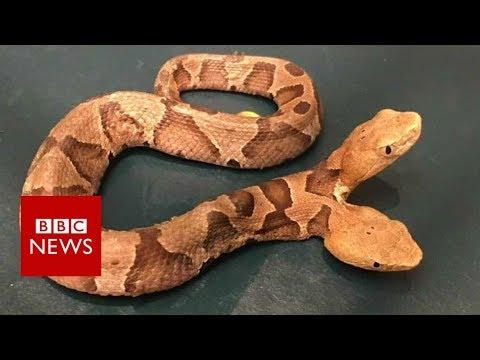 Double-headed snake surprises homeowner - BBC News