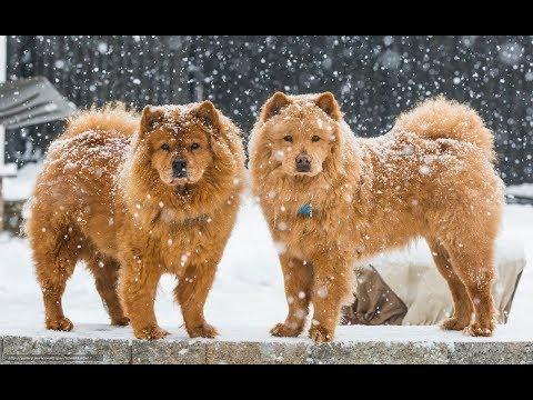 Chow-chow: tout savoir sur cette race de chien ( Chow Chow ) [VF]