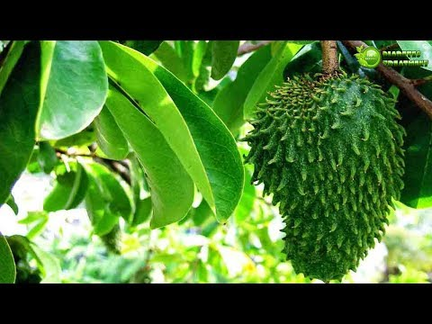 Soursop Leaves for Diabetes Treatment – How to use - Incredible Natural Medicine for Diabetes