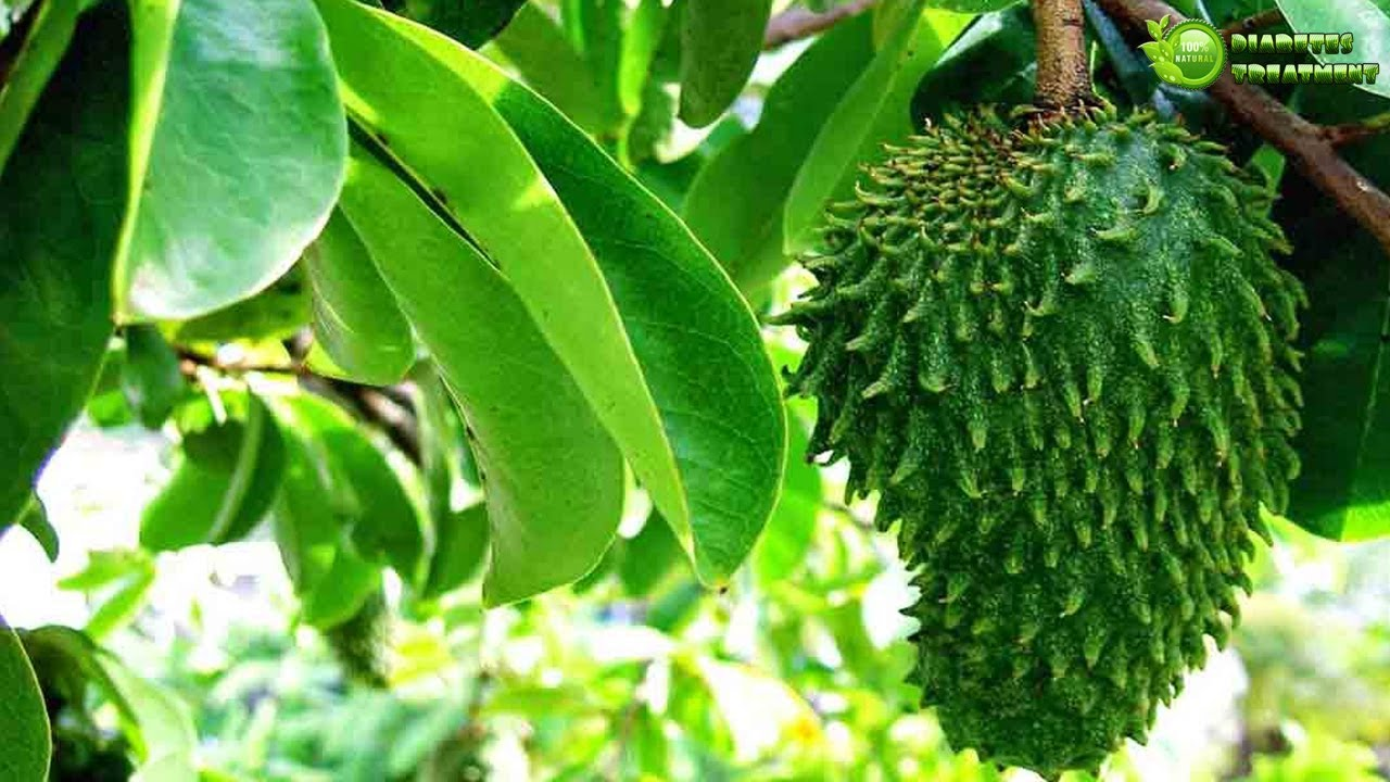 Soursop Leaves for breast cancer