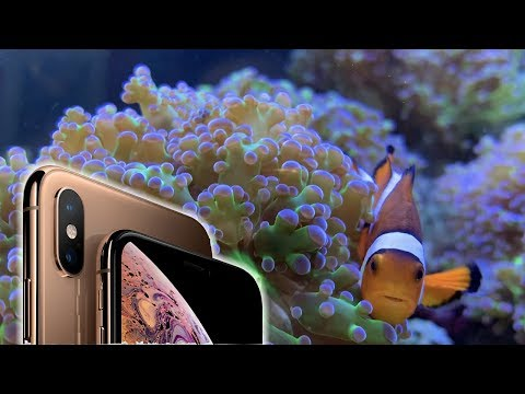 Caught On The IPhone Xs - Clownfish Hosts Frogspawn