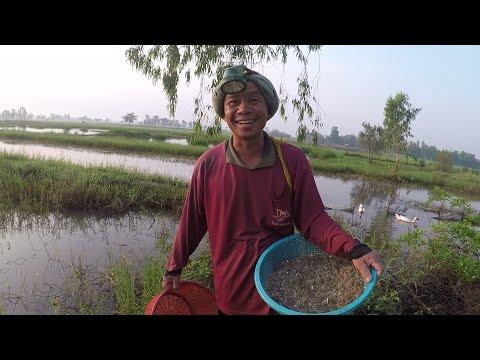 วิธีจับกุ้ง  ด้วยภูมิปัญญาพื้นบ้านอีสาน ได้กุ้งและปลามาทำอาหาร  หาอยู่หากินแบบวิถีอีสาน
