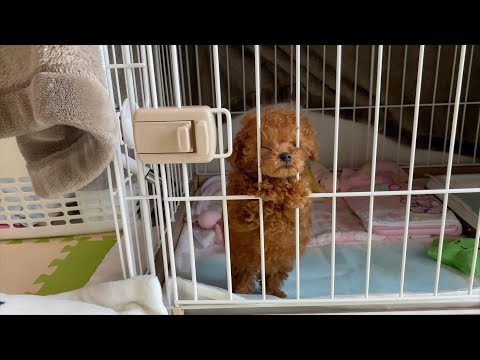 Morning with a Toy Poodle puppy