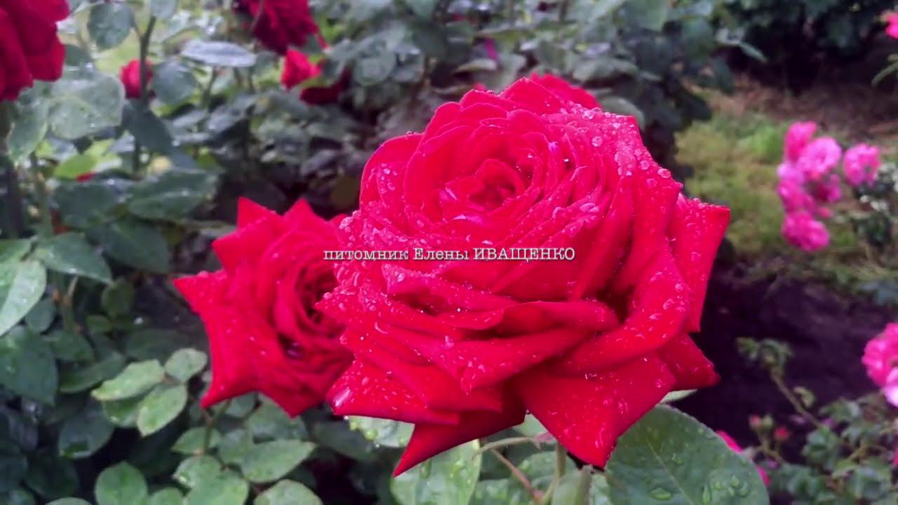 Супер Гранд Аморе - один из лучших сортов роз