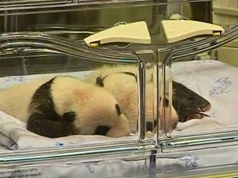 Twin Baby Pandas Born in Madrid Zoo