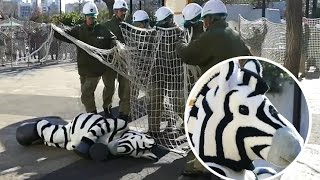 Tokyo zoo stages zebra escape for earthquake drill