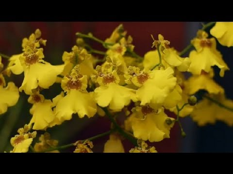Orchid Care Dividing And Repotting Oncidium Orchids An