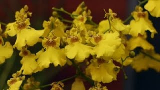 Dancing Lady Orchid Care  Orchid Care