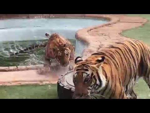 Tigers playing in the pool