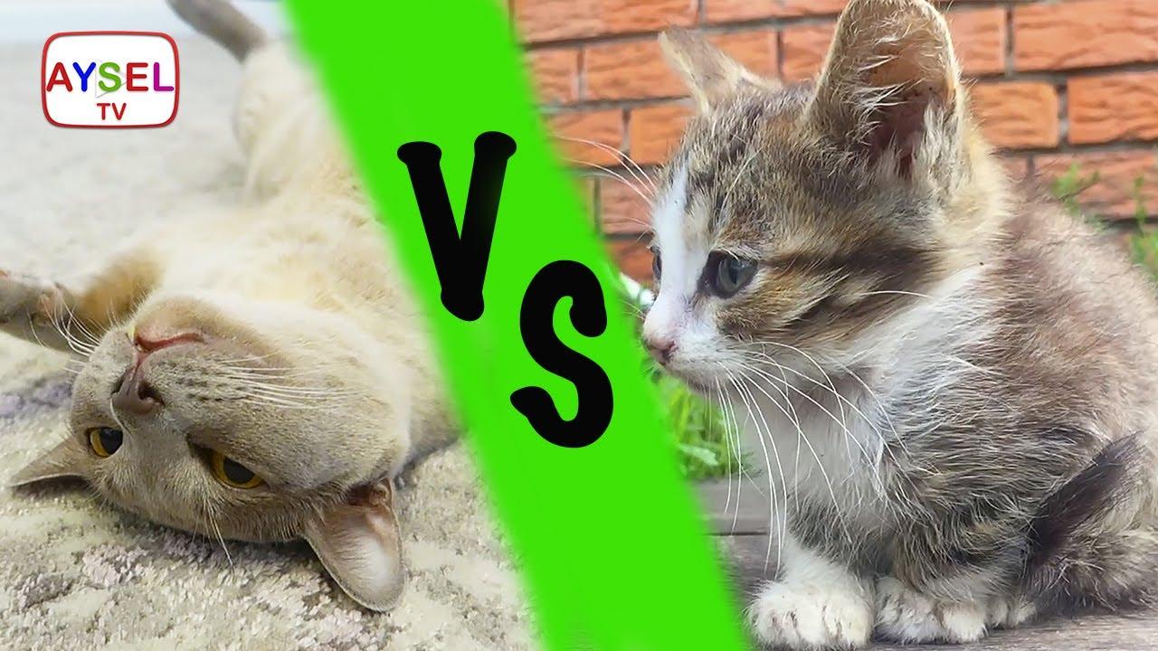 картинки злой кот