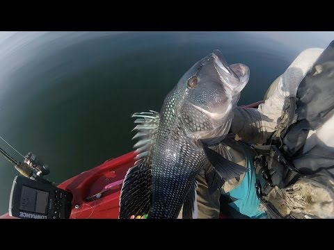 JUMBO Inshore Sea Bass Fishing - Jigging A Limit With Soft Plastic Lures 7/28/2016