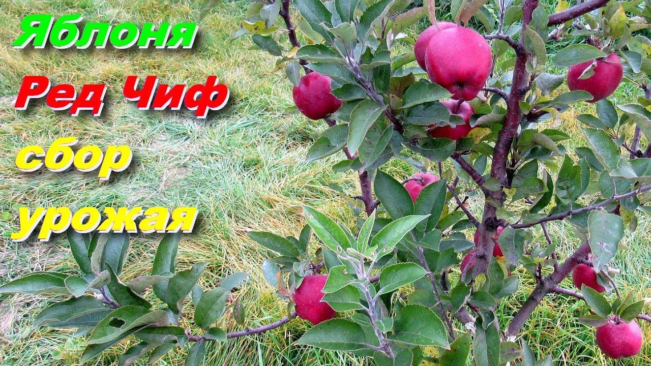 Яблоня Ред Чиф Сбор сигнального урожая на 4-х летке