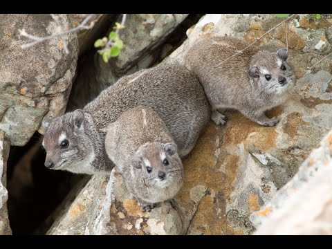 The eerier call of the Rock Hyrax (Dassie)