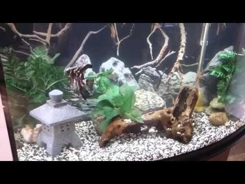 Gold Severum And Angel Fish