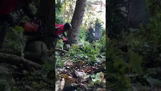 oak felling