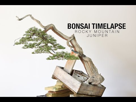 Bonsai Timelapse - Rocky Mountain Juniper