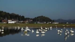 11月18日に田んぼにはたくさんの白鳥が居ました。