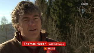 Goldschakal jetzt auch in Kärnten gesichtet ORF Kärnten heute