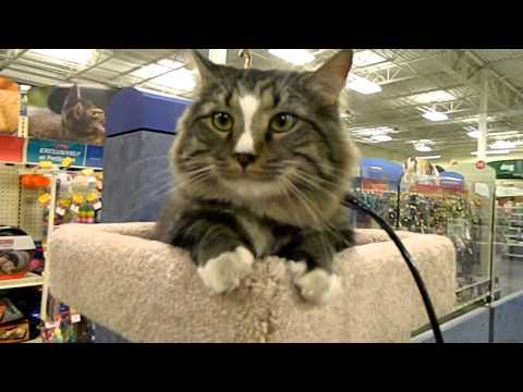 Norwegian Forest Cat - Mr Chris shopping at PetSmart on his leash!