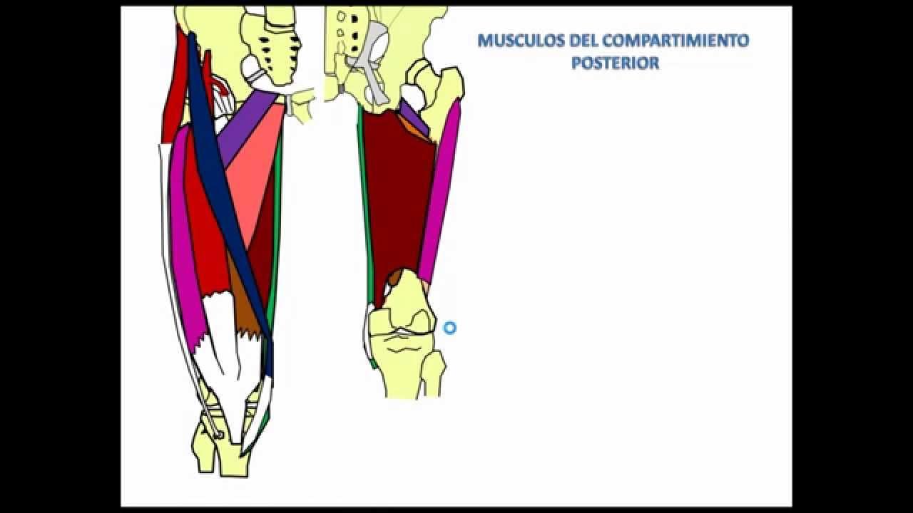 Musculos del miembro Inferior region del muslo - YouTube