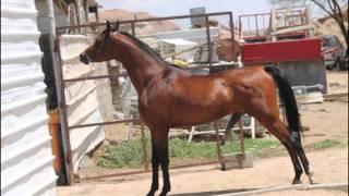 الفحل ساري - حصان عربي