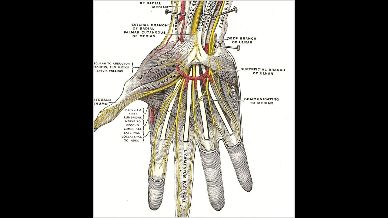 Functional Anatomy of The Hand (How to Greet People) - YouTube